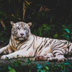 【動物占い】虎の性格を調査!恋愛傾向や相性なども合わせてチェック