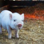 夢で豚を見たのは何のサインは?豚の夢占いを徹底解説