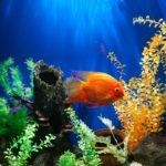 【夢占い】夢で金魚が出てきたのは何のサイン?金魚の夢の意味を調査