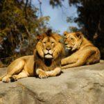 【夢占い】夢でライオンが出てきたのは何のサイン?ライオンの夢の意味を調査