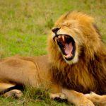 【動物占い】ライオンの性格を調査!恋愛傾向や相性なども合わせてチェック