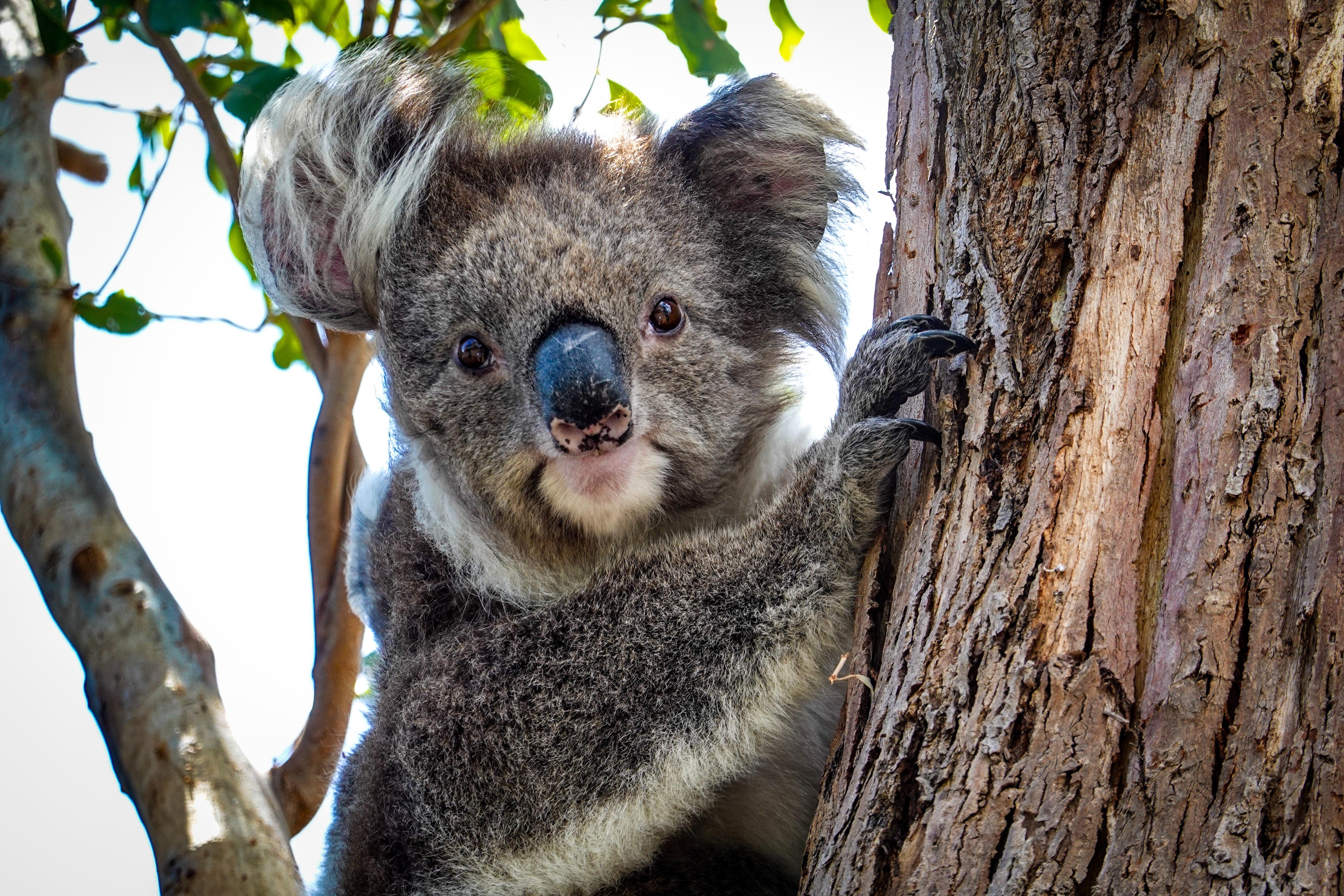 【動物占い】コアラの性格を調査!恋愛傾向や相性なども合わせてチェック
