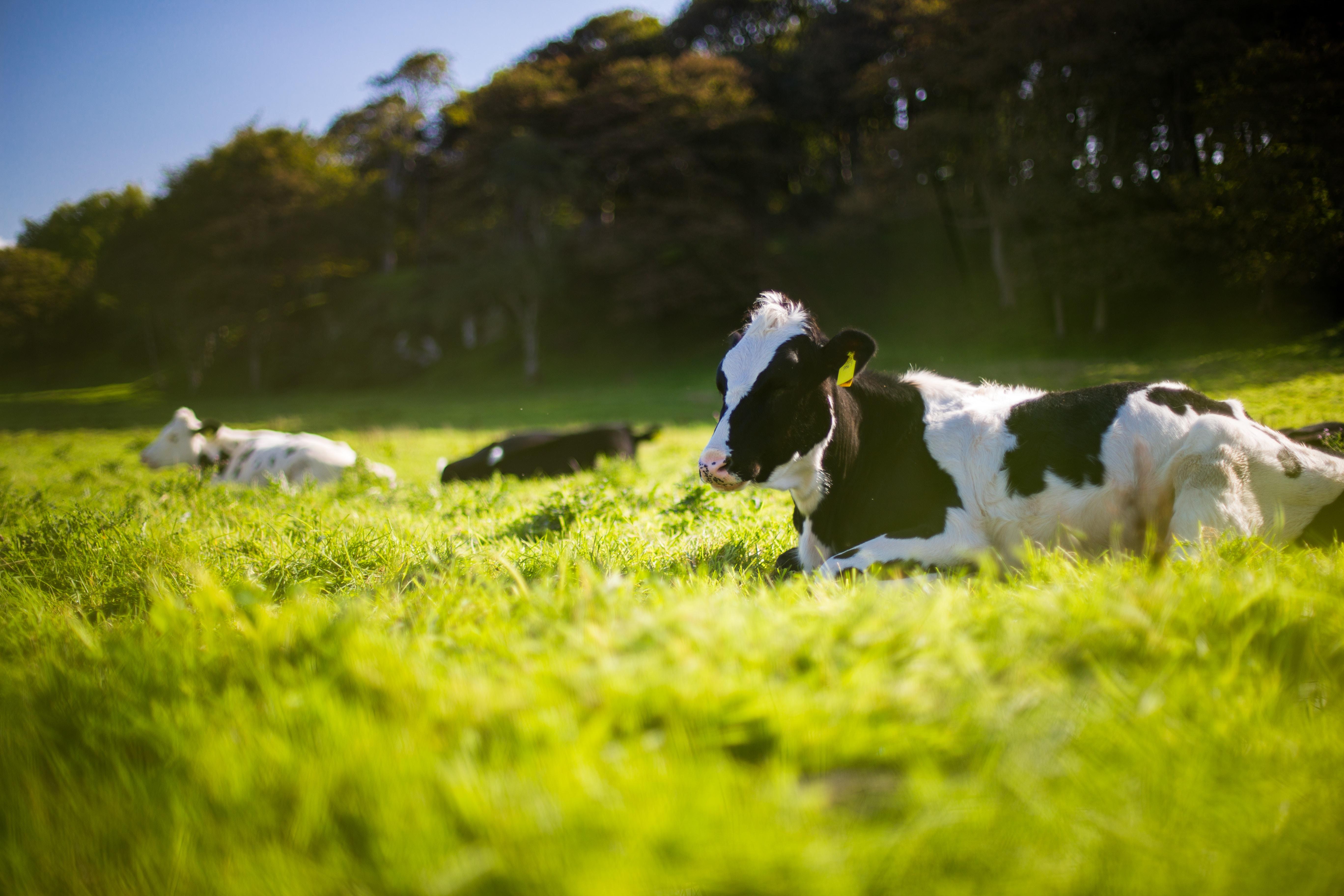 【夢占い】夢で牛を見たのは何のサインは?牛の夢占いを徹底解説