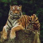夢占いで虎が意味するサインは?虎が夢に出てきた夢の意味を解説