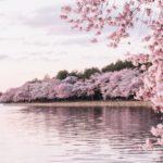 夢占いで桜が意味するサインは?桜が夢に出てきた夢の意味を解説